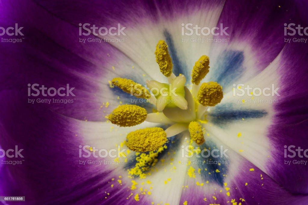 Inside pink tulip stock photo