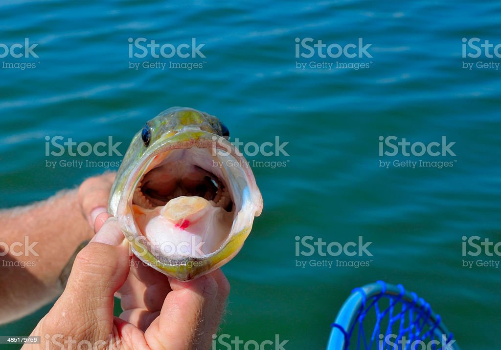 Inside the mouth of a large mouth bass stock photo