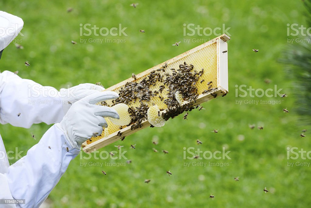 Inspecting bees royalty-free stock photo