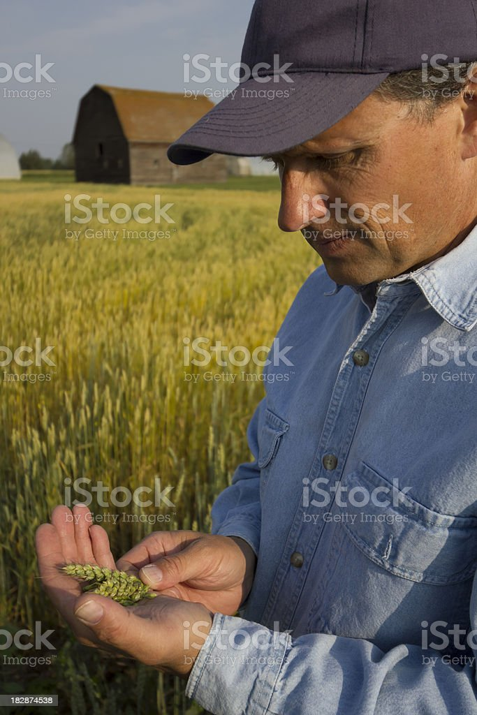 Inspecting Before Harvest royalty-free stock photo