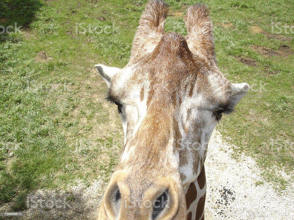 Inspector Giraffe stock photo