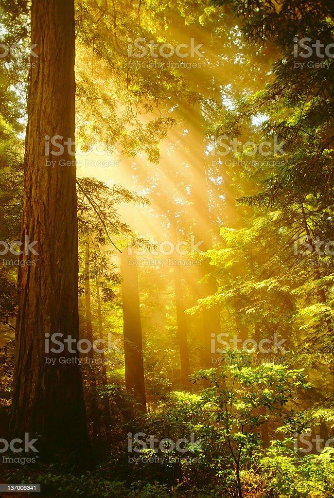 Inspiring Redwoods stock photo