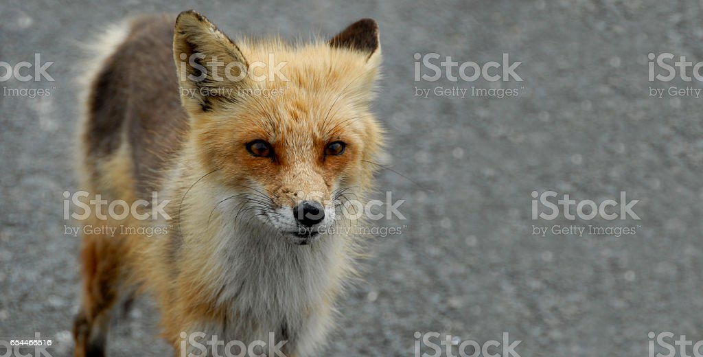 Intense Looking Wild Fox stock photo
