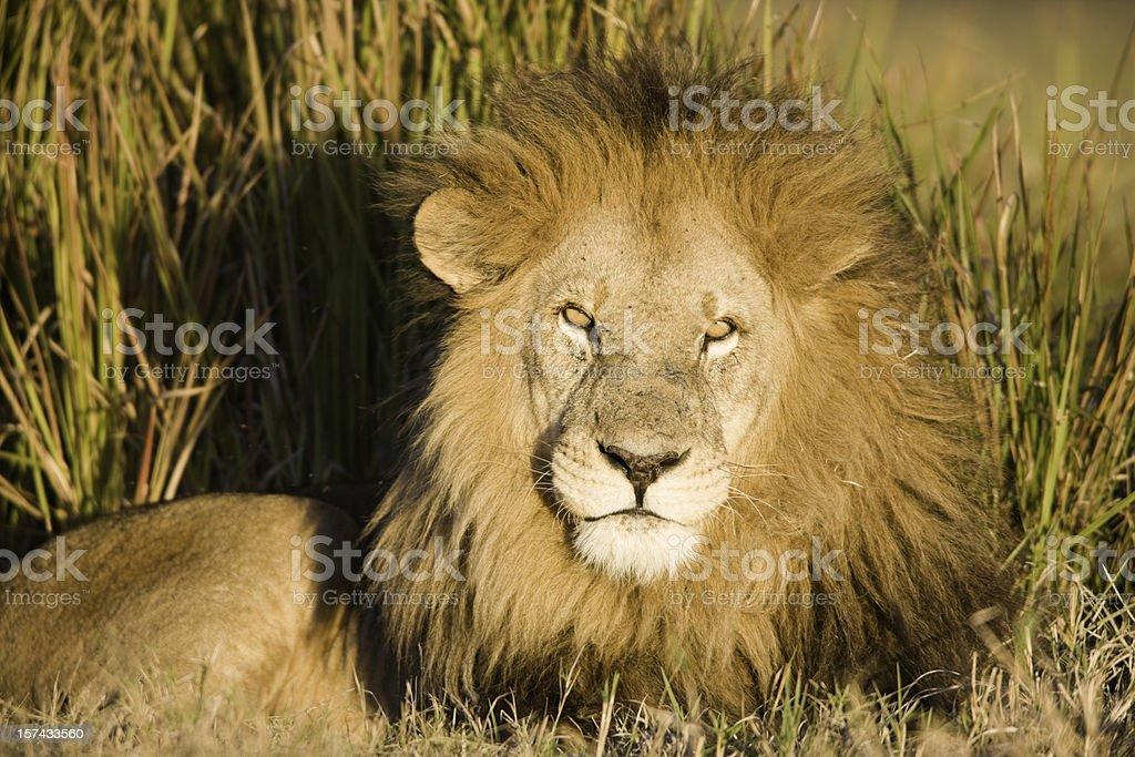 Intense Male Lion royalty-free stock photo