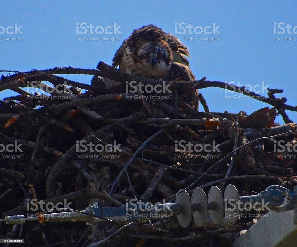 Intense Montana Osprey stock photo