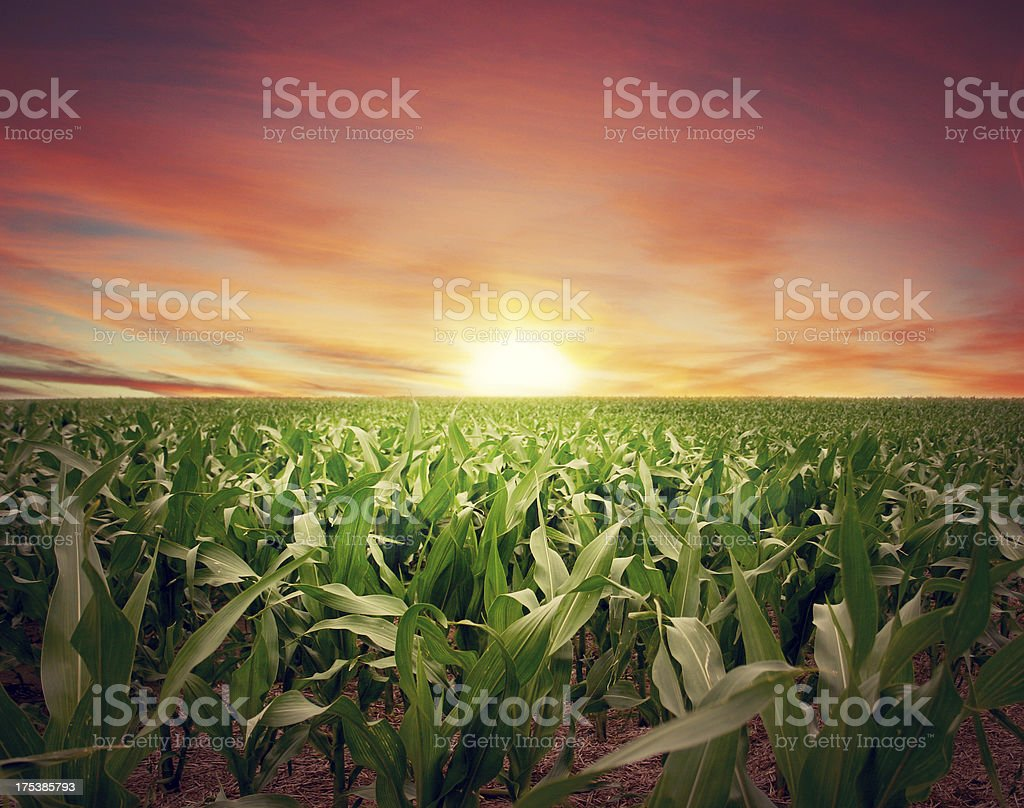 Intense Sunset over Kansas Cornfield royalty-free stock photo