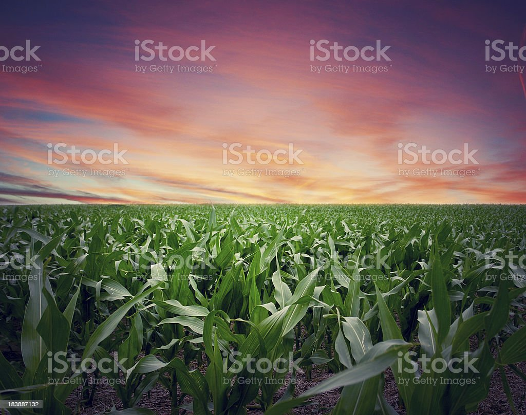 Intense Sunset over Kansas Cornfield stock photo