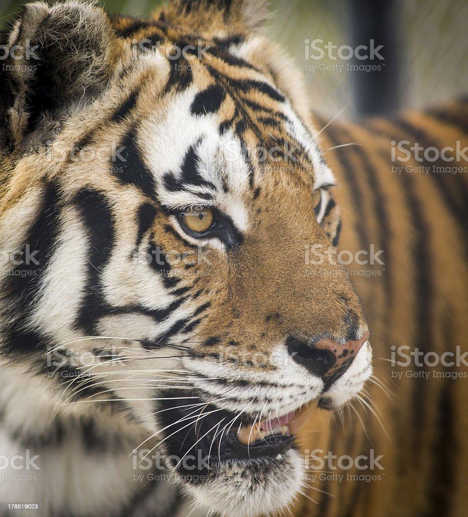 Intense Tiger Gaze stock photo