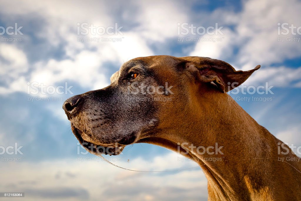 Intent great Dane with drool strand stock photo