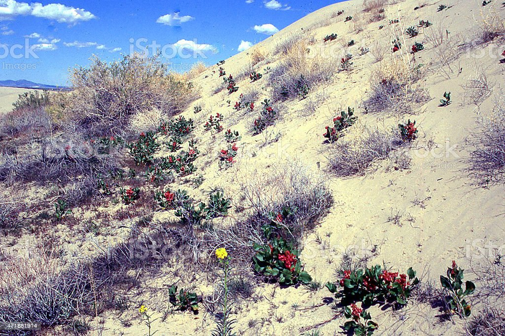 Inter-dune vegetation at Little Sahara State Park near Delta Utah stock photo