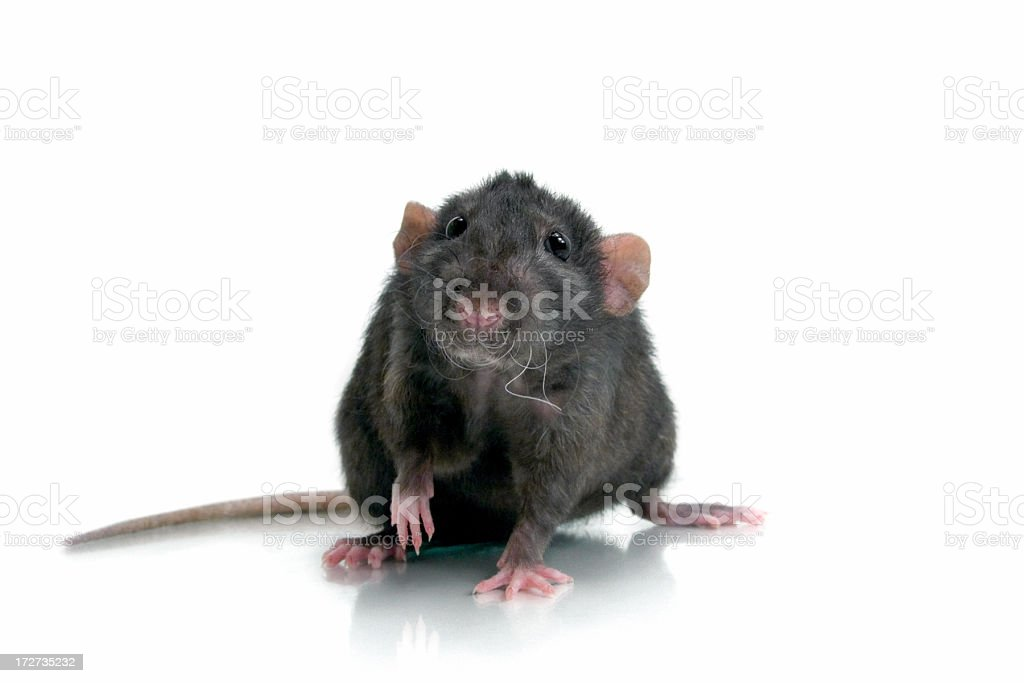 Interested Black Rat royalty-free stock photo