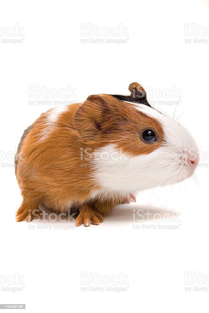 Interested newborn guinea-pig royalty-free stock photo