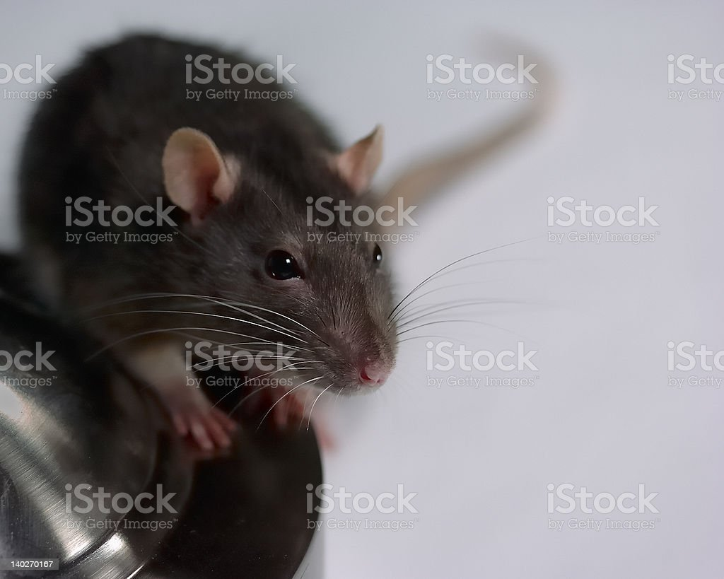 Interested Rat on a Lampstand stock photo