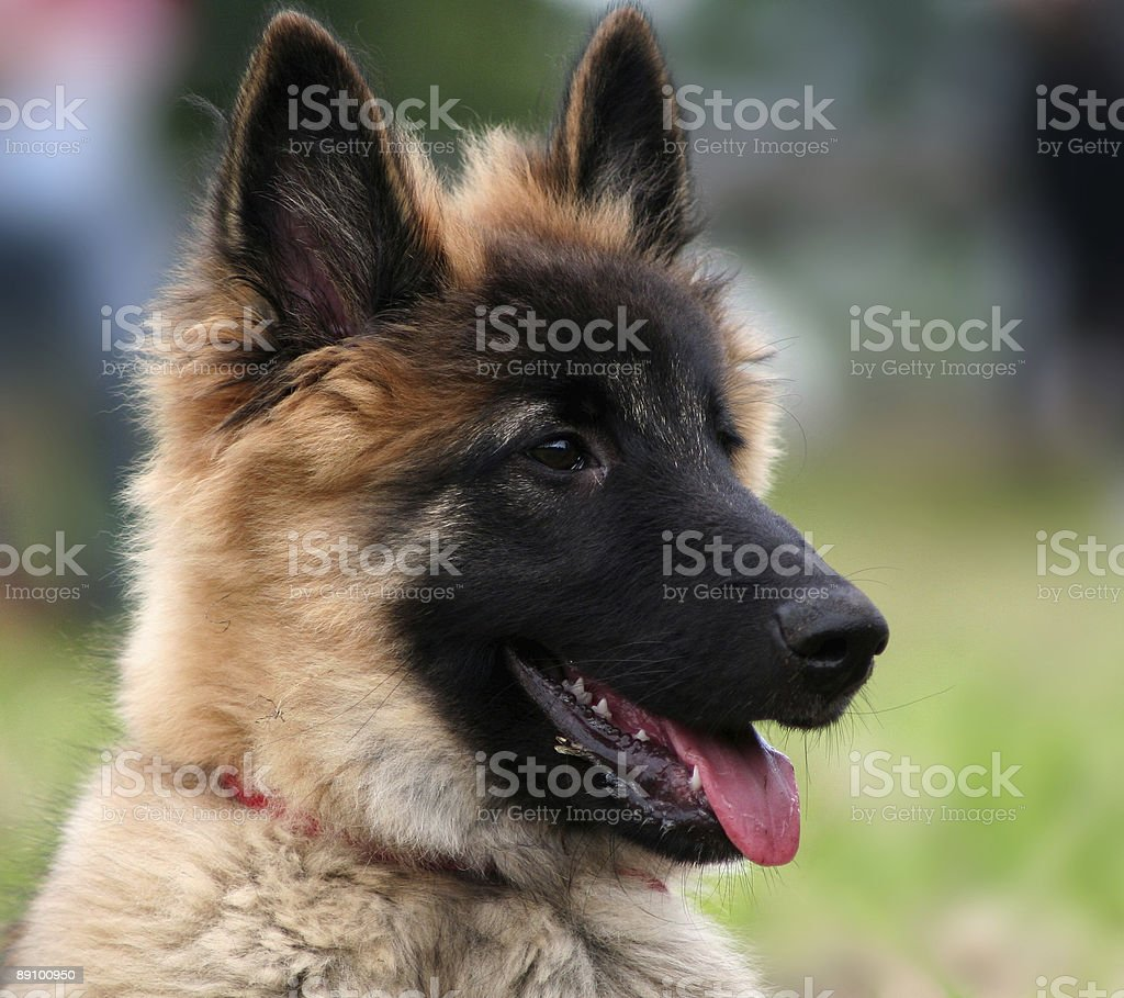 Interested Tervueren Puppy royalty-free stock photo