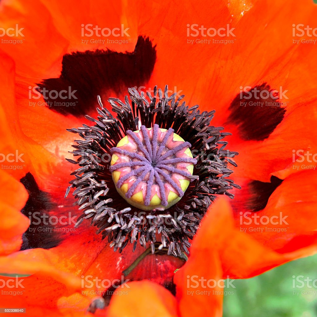 Interior of a blooming red oriental poppy stock photo