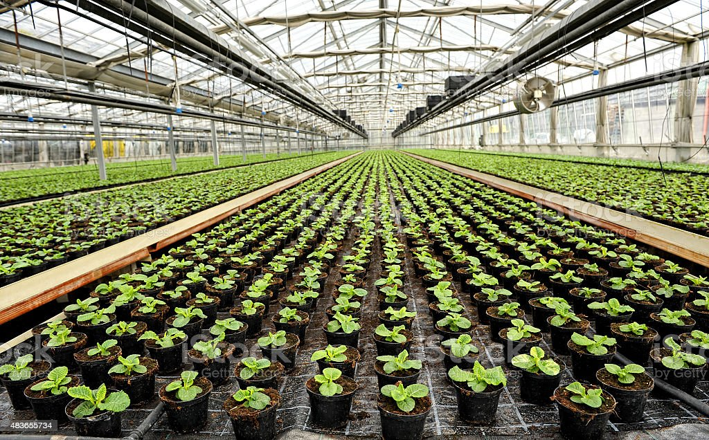 Interior of a commercial greenhouse stock photo