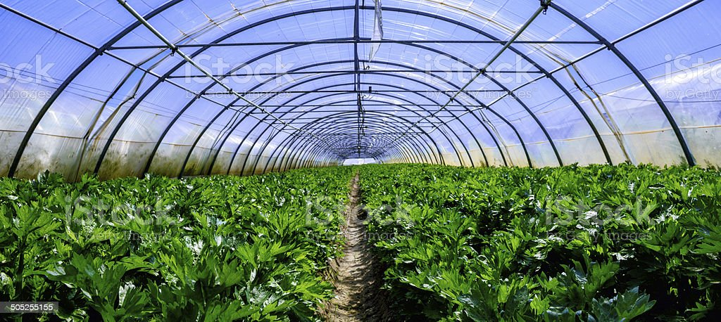 Interior of Greenhouse for celery cultivation royalty-free stock photo