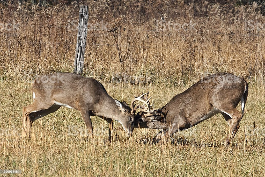 Interlocked Antlers stock photo