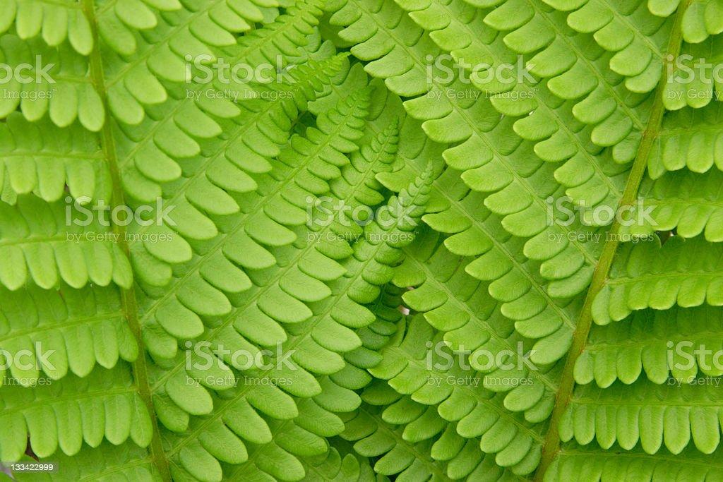 Interlocking Fern leaves stock photo