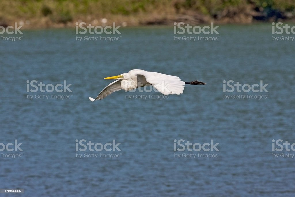 Intermediate Egret  a bird in flight royalty-free stock photo