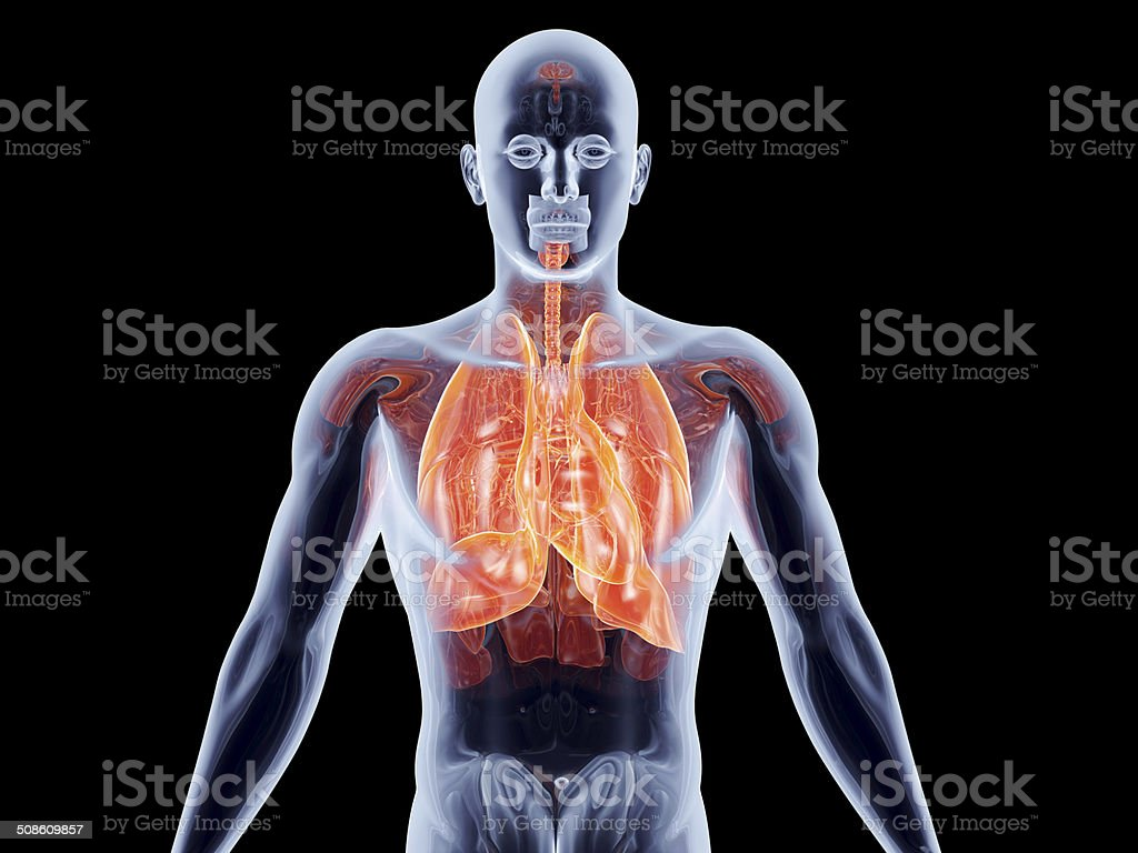 Internal Organs - Lungs stock photo