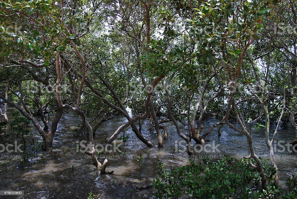intertwined mangrove tree branches in water stock photo