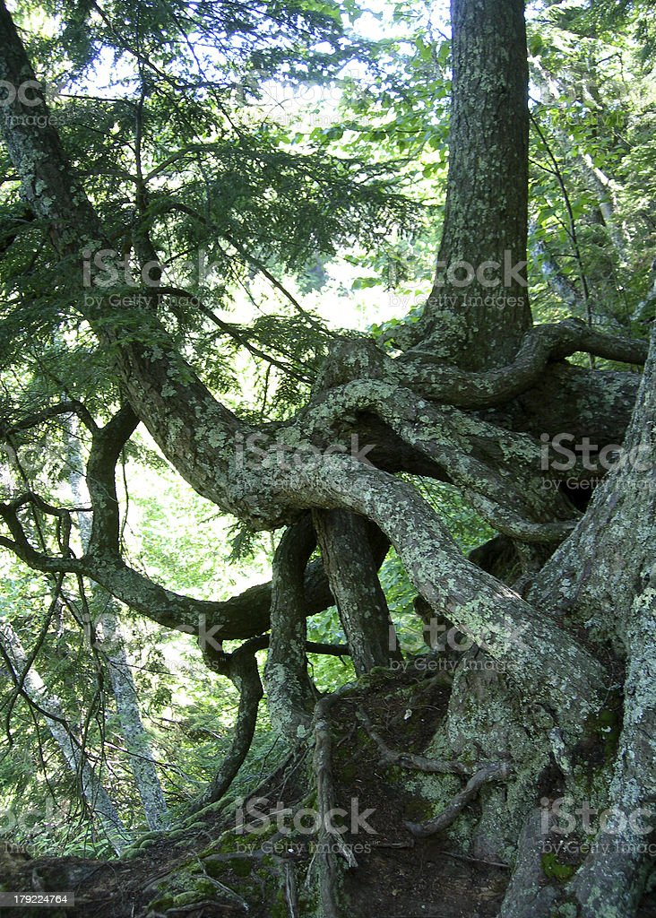 Intertwined pine tree trunks royalty-free stock photo