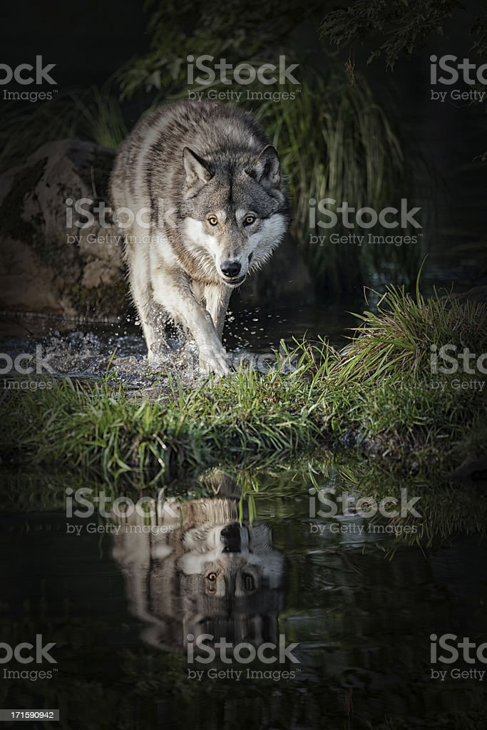 Intimidating gray wolf in Northern Minnesota. stock photo