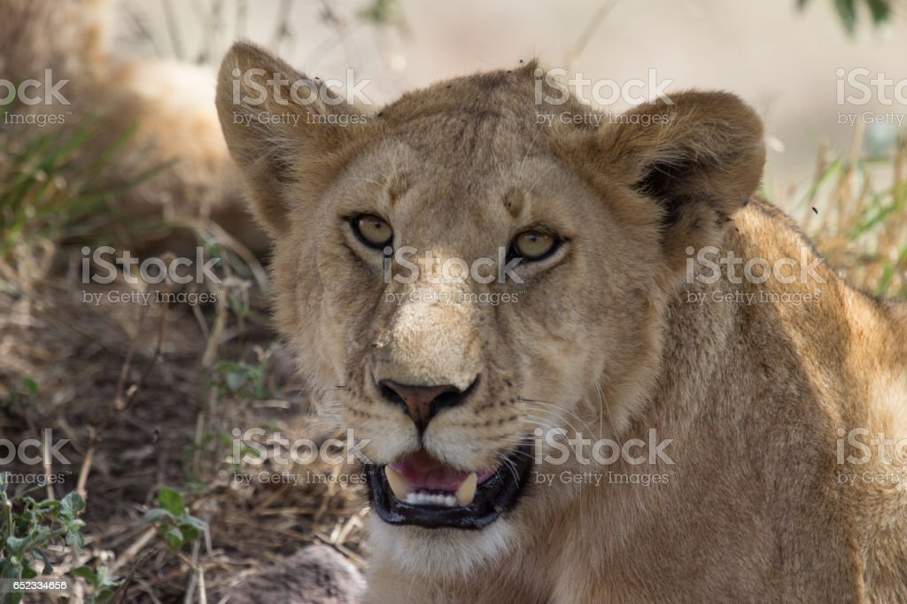 Into the eyes of a lion. stock photo