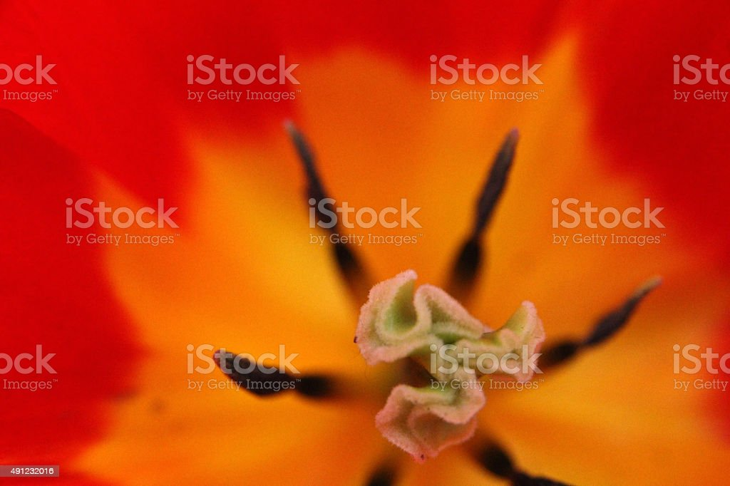 Into the Flower royalty-free stock photo