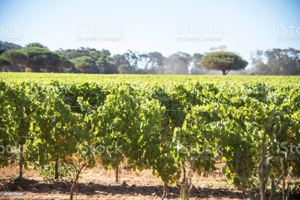 Into the vineyard stock photo