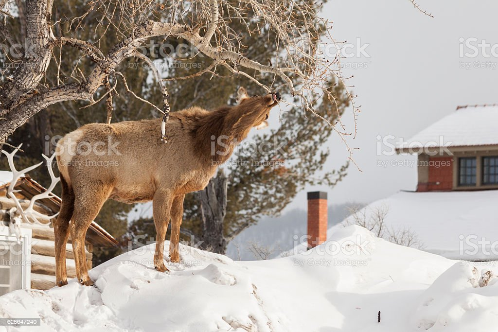 Intrepid elk using the snow banks to her advantage. stock photo