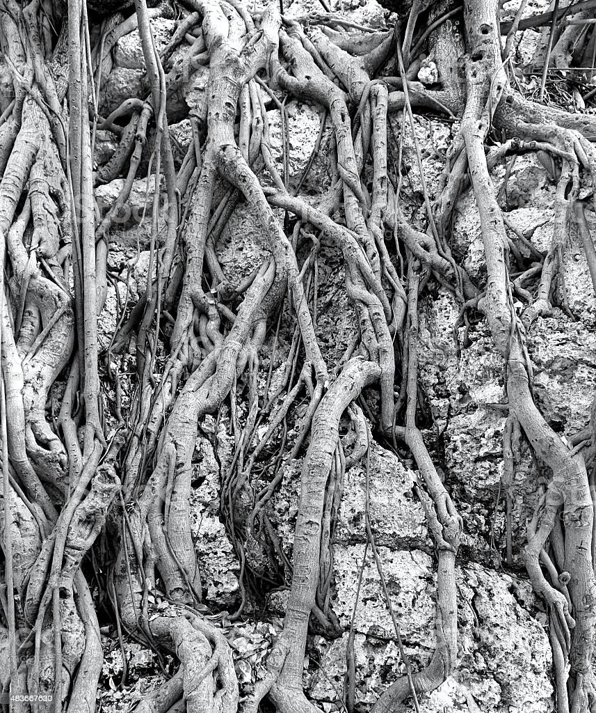 Intricate Aerial Root System of the Banyan Tree stock photo