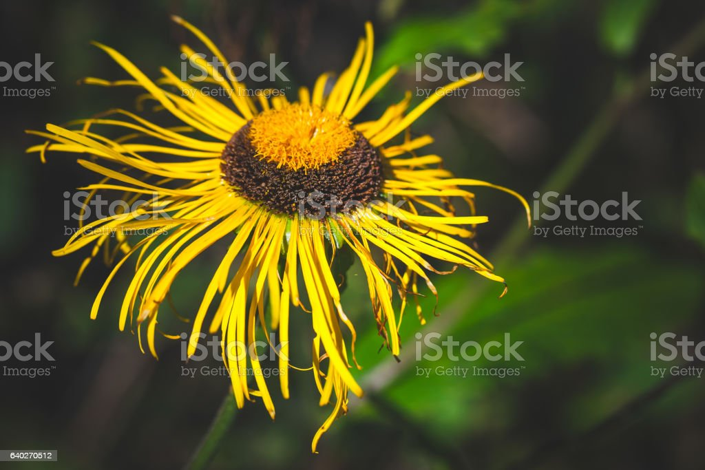 Inula flowering plant, yellow flower stock photo