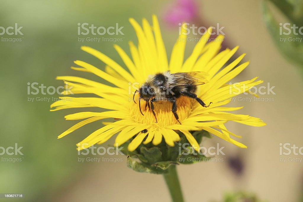 Inula helenium with bee. stock photo