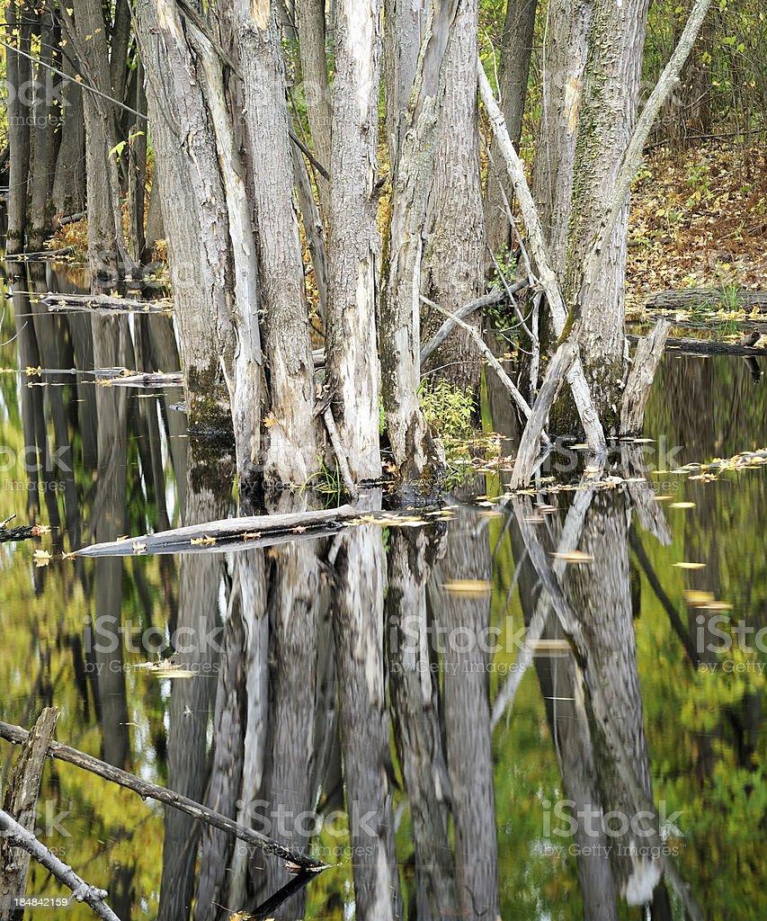 inundated tree trunks stock photo