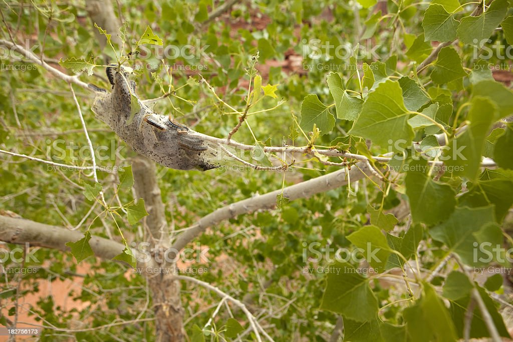 Invading Western Tent Caterpillars on Cottonwood Tree stock photo