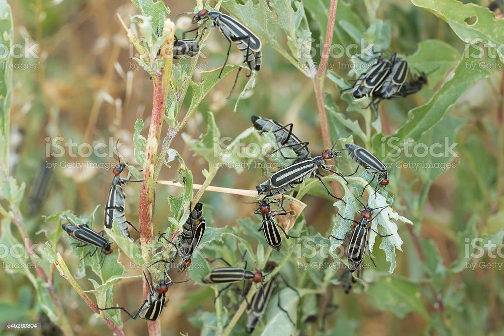 Invasive destructive beetles eating and destroying leaves. A garden pest. stock photo