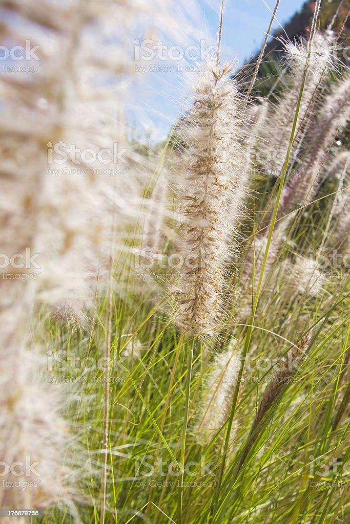Invasive Grass Species royalty-free stock photo
