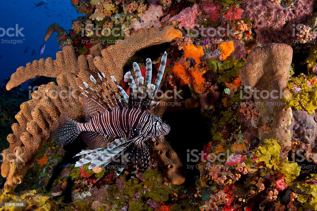 Invasive Lionfish in Saba stock photo