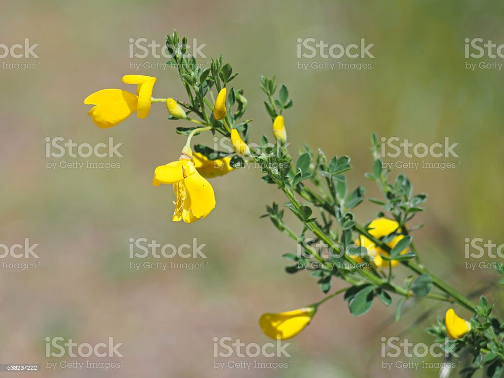 Invasive Scotch Broom in British Columbia, Canada stock photo