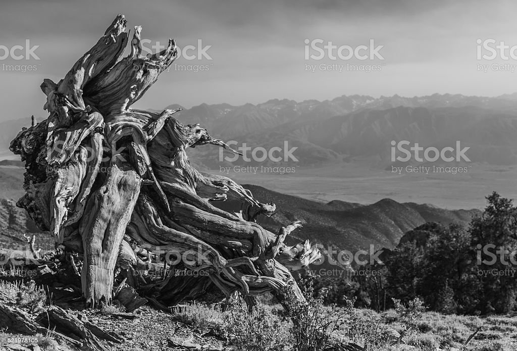 Inyo National Forest - Ancient Bristlecone Pine Forest stock photo