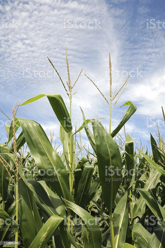 Iowa Corn and Tassels royalty-free stock photo