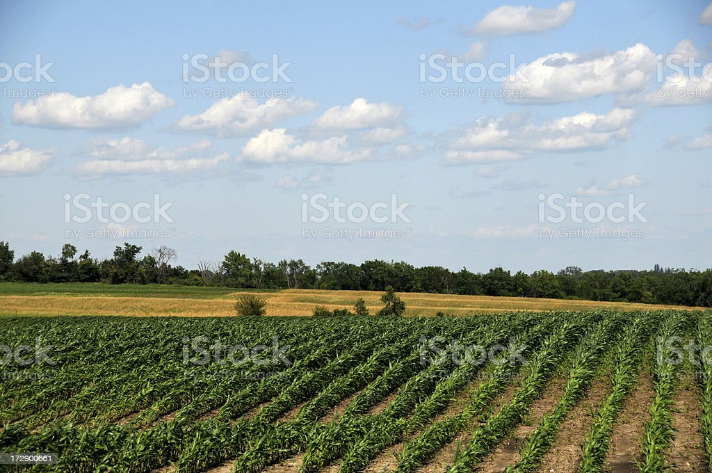 Iowa Corn Field royalty-free stock photo