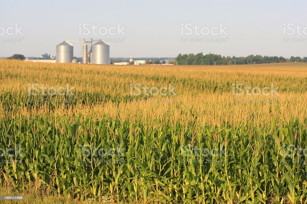 Iowa Cornfield with Grain Bins on the Horizon stock photo