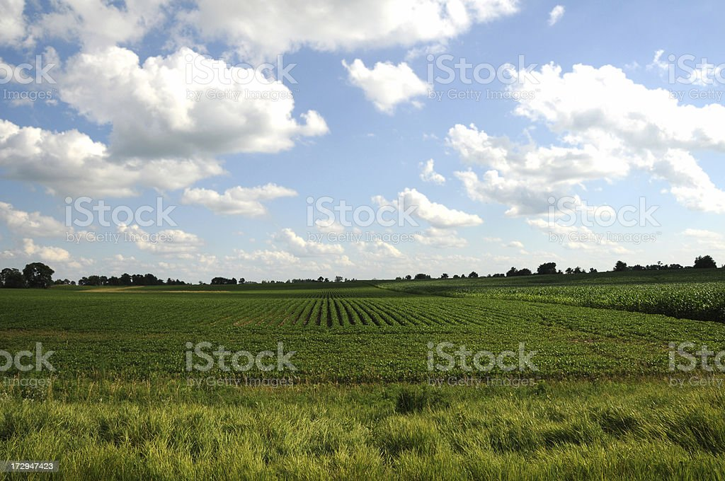 Iowa Soybean Field. royalty-free stock photo