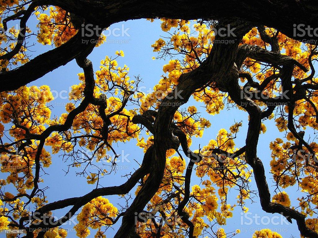 Ipê-amarelo (Tabebuia) stock photo