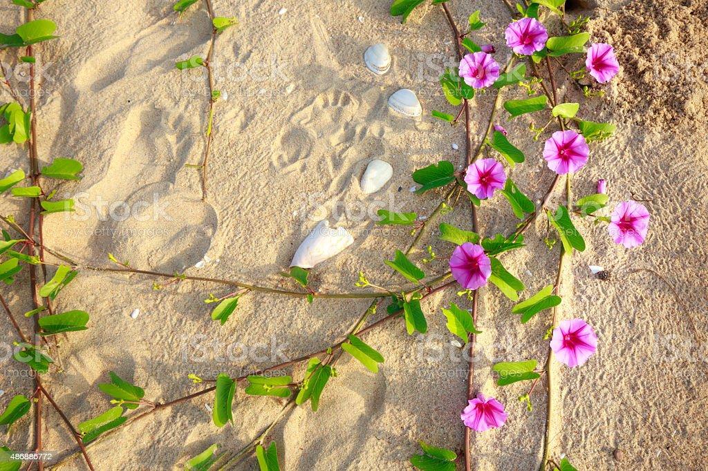 ipomoea aquatica flower aligning on the beach stock photo