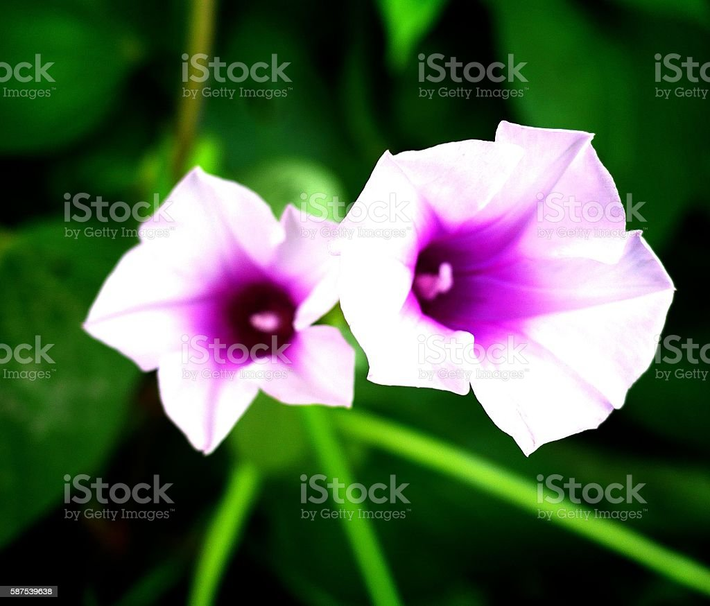 ipomoea stock photo