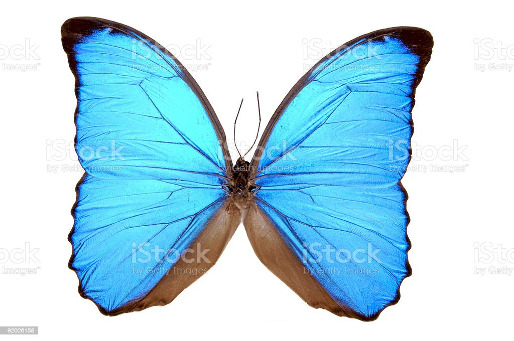 Iridescent Blue Butterfly (Morpho menelaus) royalty-free stock photo